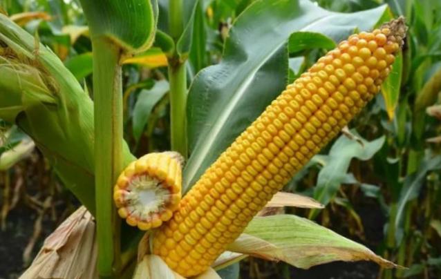 Силосна кукурудза для молочного тваринництва