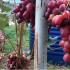 Советы от виноградаря на 4 тонны винограда